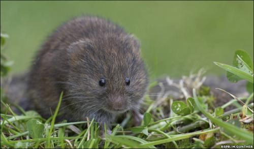 critter.thumbnail English Water Vole Nature Cute As Hell Animals
