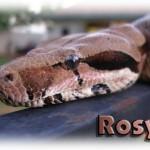 rosyhead2.jpg (449 KB)