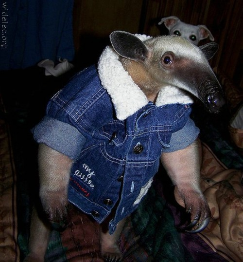 anteater 500x538 Stylin anteater Cute As Hell Animals