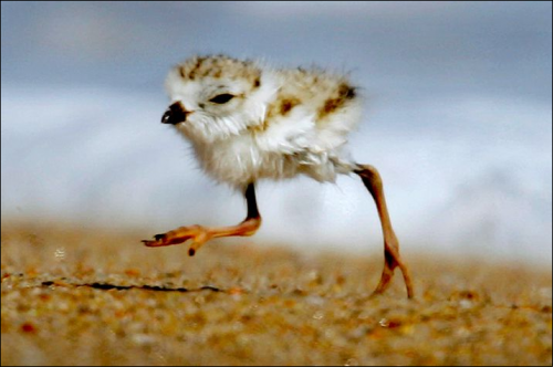2-Day Old Piping Plovers.png (374 KB)