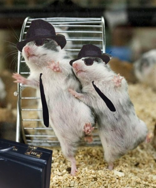 hamsters dance - Blues Brothers style.jpg (99 KB)