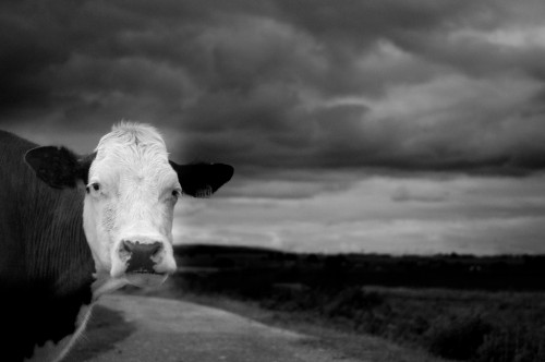 cow 500x332 Its a cow. Wallpaper Nature Cute As Hell Animals