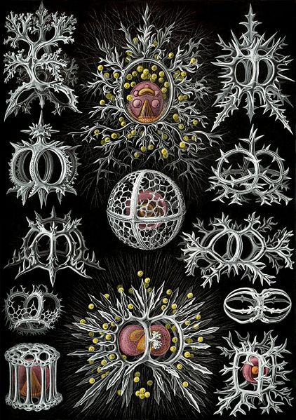 422px-Haeckel_Stephoidea_edit.jpg (109 KB)