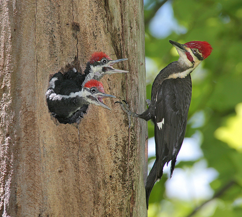 woodpecker Pileated Woodpecker Nature Cute As Hell Animals