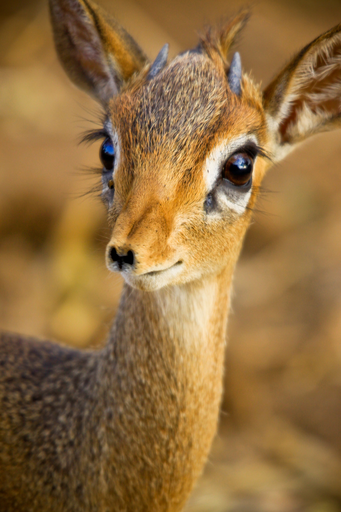 4037853962 afb2a81b09 b Dikdik  Africas tiniest antelope species Cute As Hell Animals