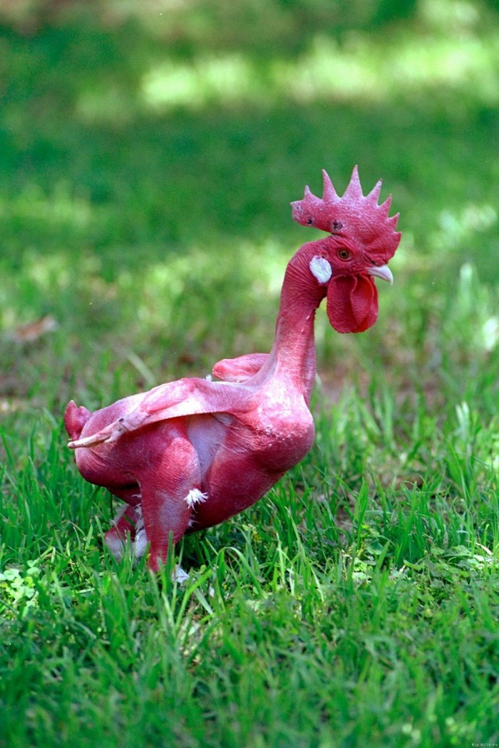 lMA32719964 0016 700x1050 Featherless chicken