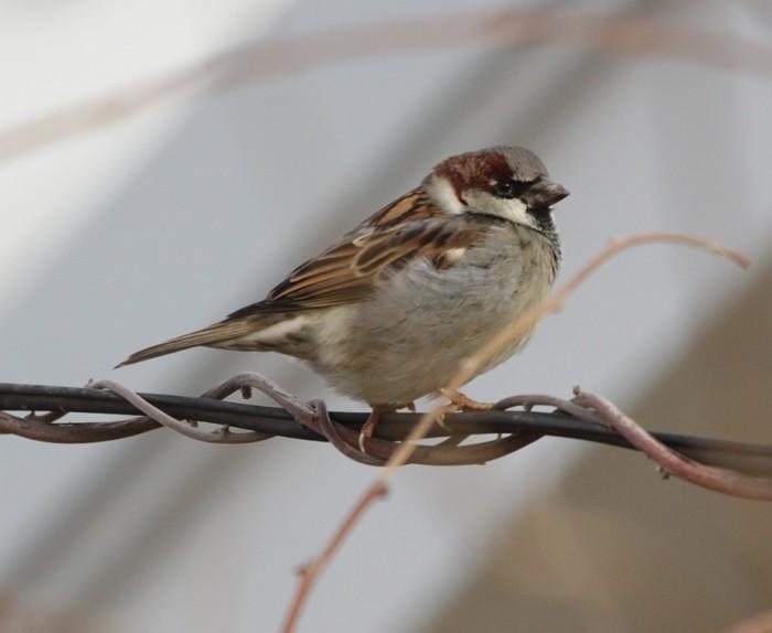 sparrow 700x574 sparrow Nature