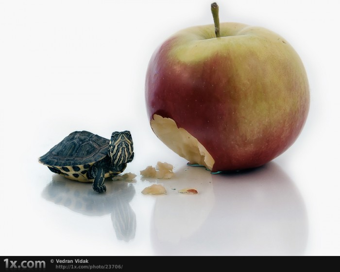 23706 700x560 Turtle and apple Food Cute As Hell Animals