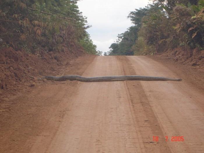 ty773 700x525 Huge snake