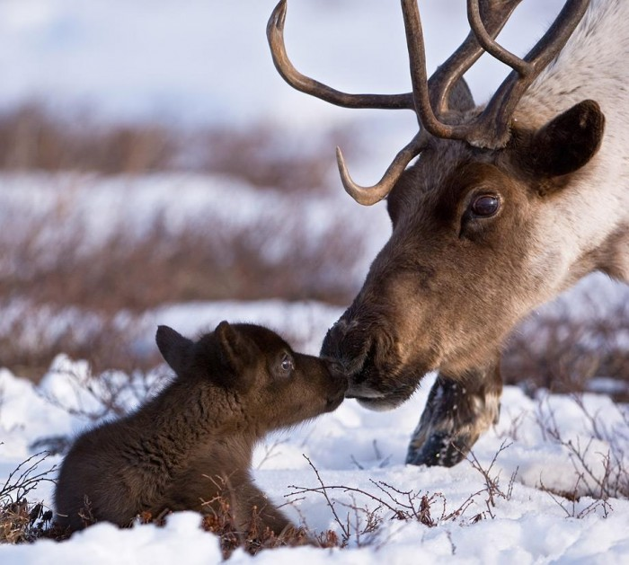 www 700x629 Baby reindeer