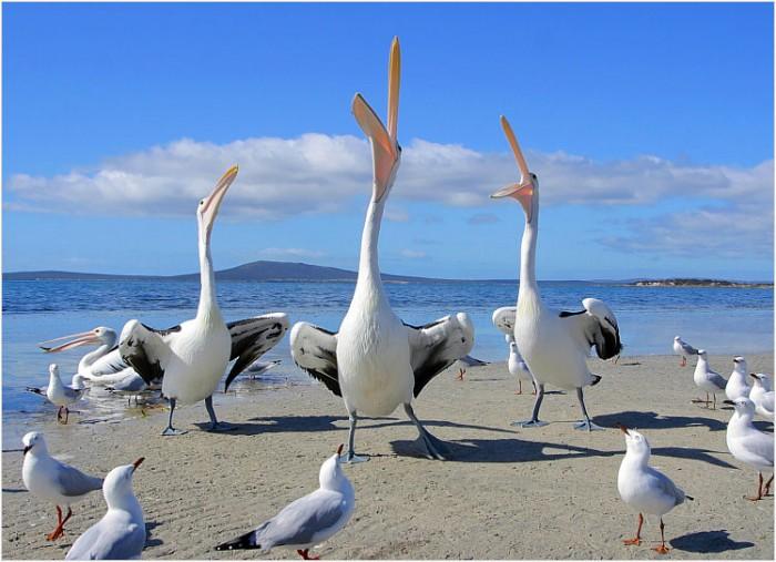 pelican_songofmypeep.jpg (96 KB)