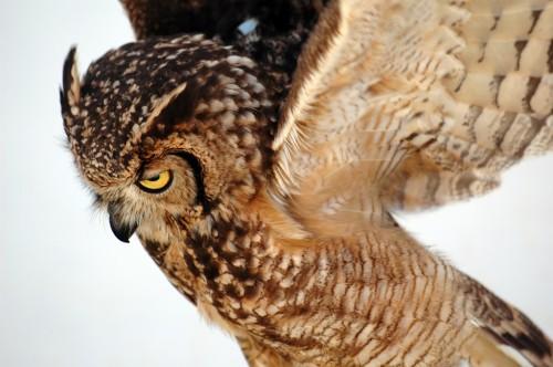 owl.jpg (334 KB)