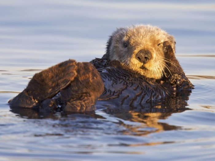 California_Sea_Otter_Monterey_Bay_Marine_Sanctuary_California_1024x768.jpg (85 KB)