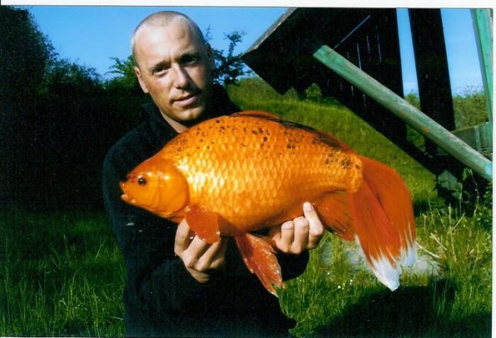2005 Morten Juul Slorhale karusse 2775 700x478 Huge Goldfish wtf Nature
