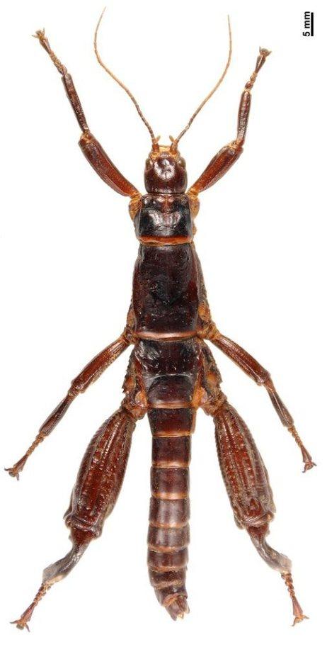 phasmidae dryococelus austr custom Back from extinction: Giant fucking bugs wtf Nature