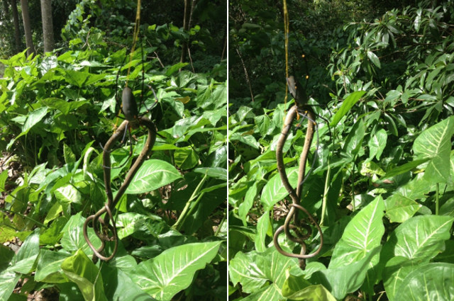 snake-eating-spider-1.jpg (137 KB)