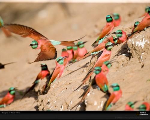 bee-eater-birds-nichols-1049040-xl.jpg (345 KB)