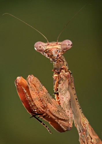 30 353x500 Praying Mantis Nature