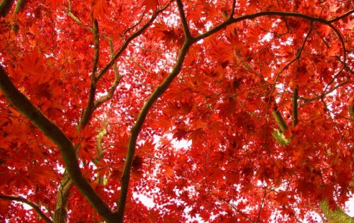 japanese maple.jpg (156 KB)