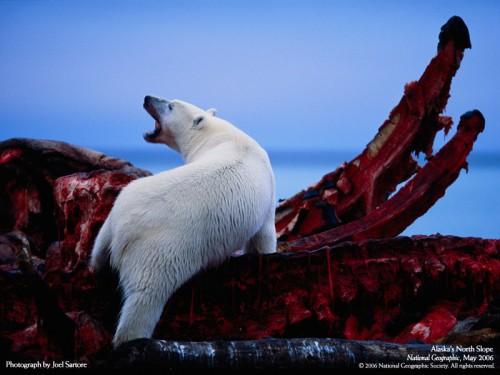 polar_bear.jpg (163 KB)