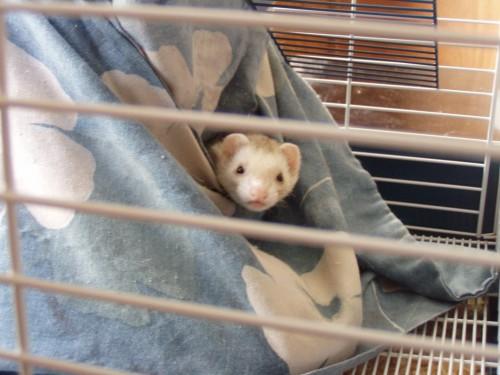 P1010002 500x375 My ferrett, Binny Stick MCS Pets Cute As Hell Animals