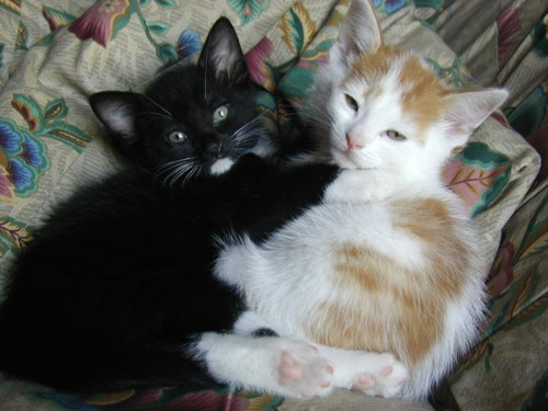 vinceandjules 500x375 My pet kittens   Vince and Jules Cute As Hell Animals