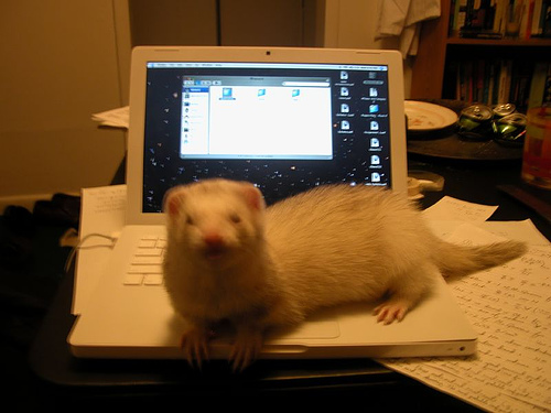 ferret My Pet Ferret   Thunder MCS Pets Cute As Hell Animals Computers