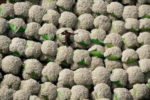 cottonbails.jpg (365 KB)