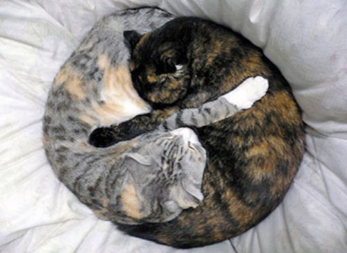 235744 500x365 Yin Yang Cats lolcats