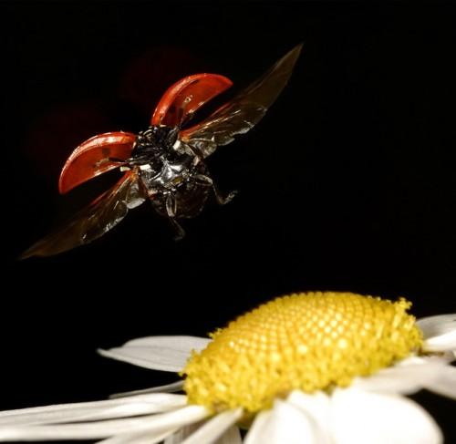 Landing 500x487 Ladybug Landing Nature