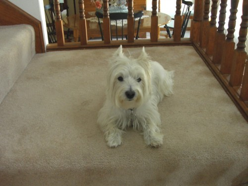 Shelby pre skunk 500x375 My pet Westie, Shelby MCS Pets Cute As Hell Animals