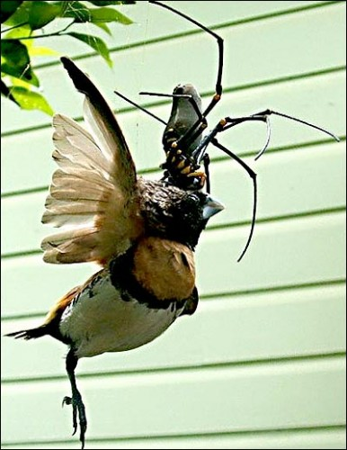 easpider122 386x500 Bird Eating Giant Spider wtf Nature