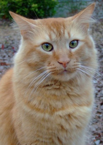 izzy 356x500 My Pet Cats   Sandy, Cassius (aka Fatkitty), Izzy, and Kitty MCS Pets Cute As Hell Animals