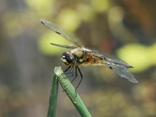 Dragonfly_macro.jpg (468 KB)