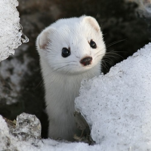Baby Weasel Will Steal Your Soul 500x500 Baby Weasel Will Steal Your Soul Cute As Hell Animals
