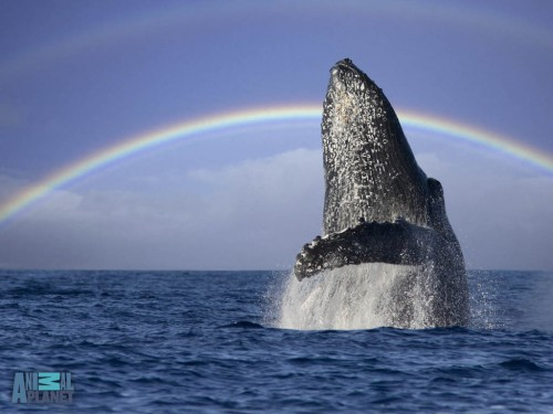 humpback-breaching-rainbow-1024.jpg (119 KB)