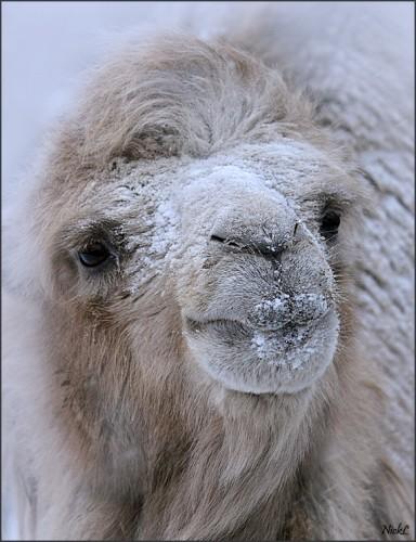 Camelsnow.jpg (329 KB)