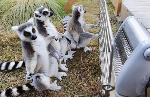 lemurs-heater_1122024i.jpg (71 KB)