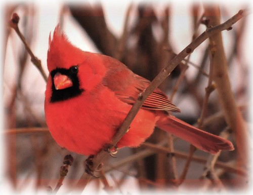 3084611397 73b9d6e61e b 500x385 Red Cardinal Cute As Hell Animals