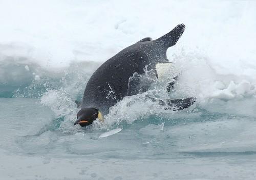 800px-Diving_emperor_penguin.jpg (81 KB)