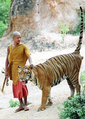 monk1 355x500 Tiger Temple in Thailand wtf Religion Cute As Hell Animals