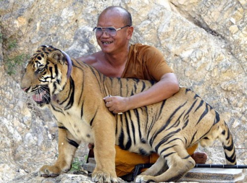 monk2 500x371 Tiger Temple in Thailand wtf Religion Cute As Hell Animals