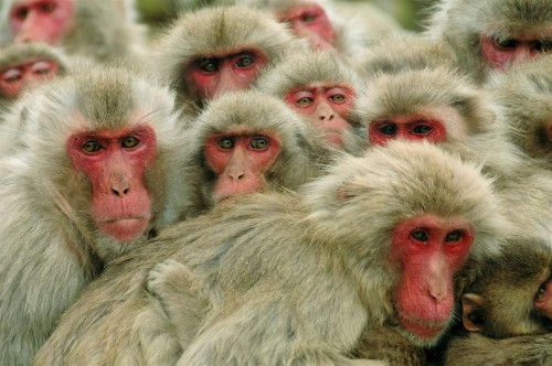 3125231786 063a8b4904 o 500x332 Japanese macaque Cute As Hell Animals