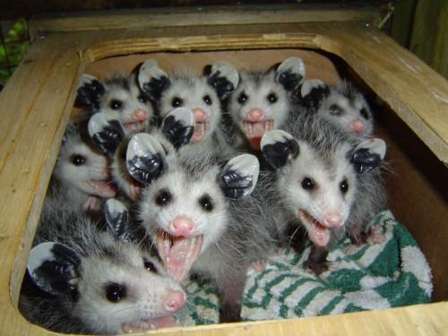 possum.jpg (198 KB)