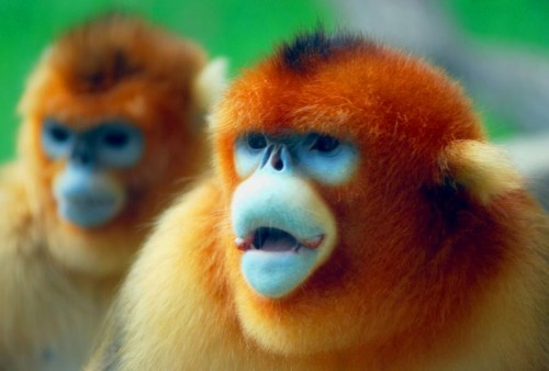 Golden Snub Nosed Monkey 500x338 Golden Snug Nosed Monkey Cute As Hell Animals