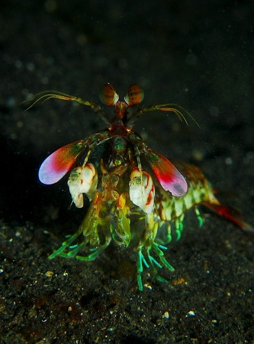 Mantis_shrimp_from_front.jpg (562 KB)