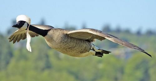 goose.jpg (139 KB)