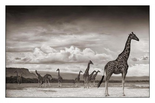 Giraffes on Lake Bed, Nakuru 2007.jpg (43 KB)