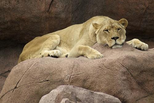 lion-500x333.jpg (66 KB)