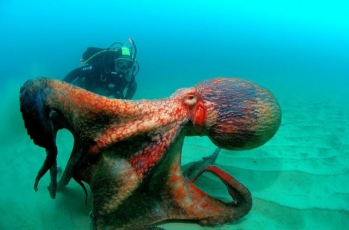 12193015805ZSgDdr 500x330 Octopi Nature Cute As Hell Animals